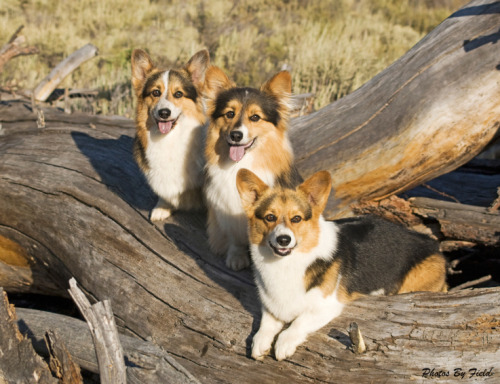Ah-HA! Here we see a Corgi Tree (corgum splendiferous) in full bloom. Note the lovely Corgi Grins, perfect for luring you in for a vigorous licking, from which your only escape is an equally enthusiastic scritching between the ears.