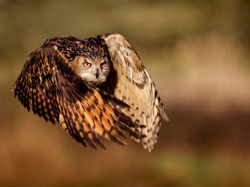 Eagle Owl  Photograph by Mark Bridger via National Geographic