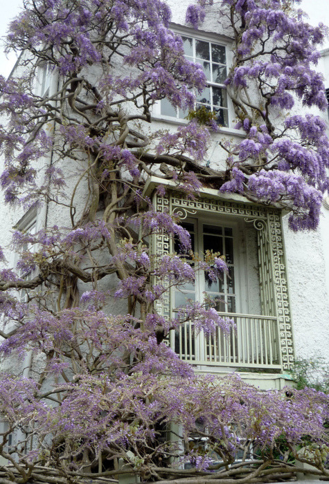 bewitchingbritain:  bluepueblo:Wisteria, Twickenham, England photo via picalla bewitchingbritain: Twickenham is a large suburban town ten miles from central London, in case you had an insatiable desire to know. And I have switched back and forth on my blogs so much I know I will post something from Africa on here at some point and it is making me very nervous.