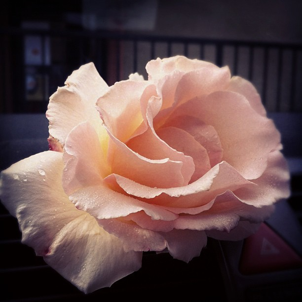 Poppys Rose (Taken with Instagram at Little Portugal)
