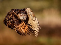 Eagle Owl (by: Mark Bridger)