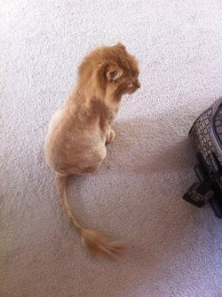 radikill:  blueberry-bruises:  i wanna shave my cat like a lion >.<  hyperventilating MORRISSEY UR HAVIN A HAIRCUT