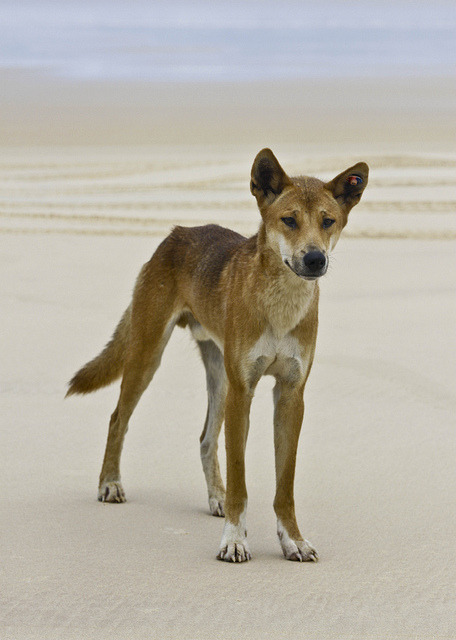 thepredatorblog:  (by Nina Matthews Photography)  Dingo.