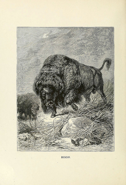 n601_w1150 by BioDivLibrary on Flickr. Bison