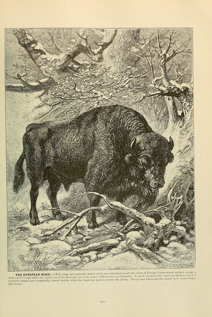 n490_w1150 by BioDivLibrary on Flickr. The European Bison
