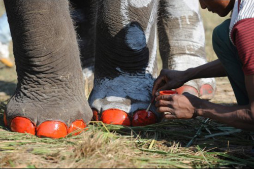 An elephant getting her (or his) toenails painted at a festival in Nepal.