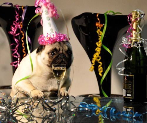 mugsofpugs:  Jenny the pug wishing you a Happy New Year!