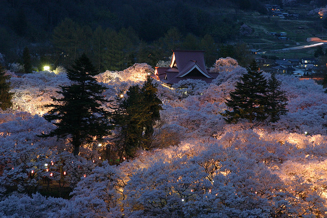 A Forest of Sacred Sakura by AJ Brustein on Flickr.