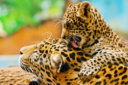 funnywildlife: Big Cat Love!!