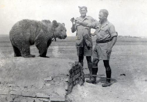 Wojtek (Soldier Bear) - In 1942, a local boy found a bear cub near Hamadan, Iran. He sold it to the soldiers of the Polish Army stationed nearby for a couple of canned meat tins. As the bear was less than a year old, he initially had problems swallowing and was fed with condensed milk from an emptied vodka bottle. The bear was fed with fruits, marmalade, honey and syrup, and was often rewarded with beer, which became his favorite drink. He also enjoyed smoking and eating cigarettes. He enjoyed wrestling and was taught to salute when greeted. The bear became quite an attraction for soldiers and civilians alike, and soon became an unofficial mascot of all units stationed nearby. With the company he moved to Iraq and then through Syria, Palestine and Egypt.