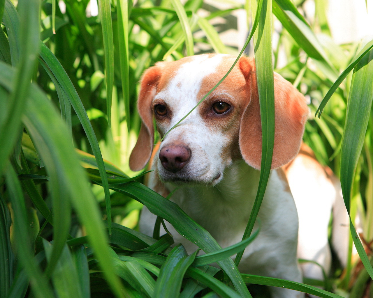 Beagle in the grass