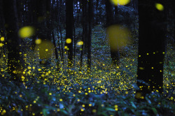 artspotting:  digitalphoto: gold fireflies in various locations around Maniwa and Okayama Prefecture in Japan between 2008-2011 via colossal
