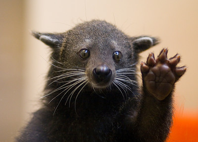 New Favorite animal…Bearcat