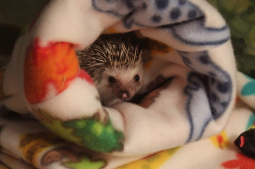 jmemilyy:  Jackie's new hedgehog.  eeeee i love hedgehogs!
