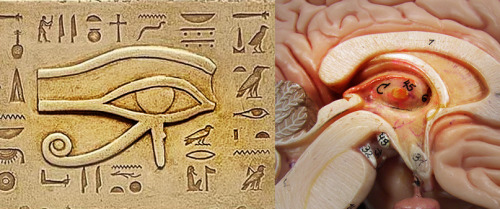 Eye of Horus and Pineal gland cross-section comparison.
