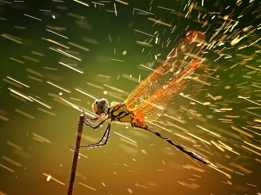 Dragonfly in the RainPhoto: Shikhei Goh This photo was taken when I was taking photos of other insects, as I normally did during macro photo hunting. I wasn't actually aware of this dragonfly since I was occupied with other objects. When I was about to take a picture of it, it suddenly rained, but the lighting was just superb. I decided to take the shot regardless of the rain.