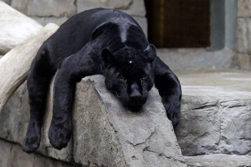 llbwwb:  Sad Panther :( by SQuirrr