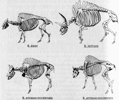 Bison skeletons from: 'Frozen Fauna of the Mammoth Steppe - the story of Blue Babe' by R. DALE GUTHRIE  The illustrations by the author are great and it's a fascinating book, particularly if you are interested in bison or the frozen ice age animals. It's out of print but available online for a reasonable price.