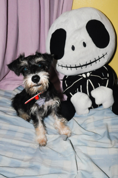 zerotheminischnauzer:  Zero with the chubby Jack Skellington