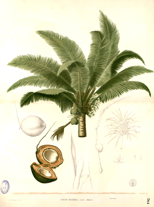 Cocos nucifera - the coconut palm L. Blanco, M., Flora de Filipinas, vol. 4: t. 363 (1875)