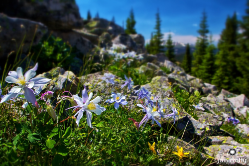 Peace through patience. Grace in gratitude. Summer Columbine in Colorado.