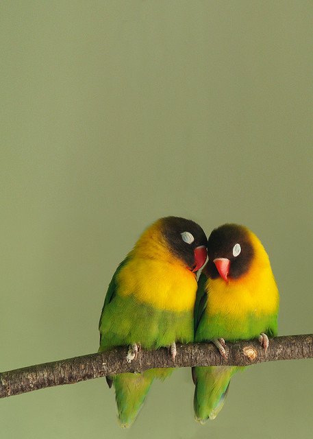 fairy-wren:  yellow collared lovebirds photo by EssjayNZ