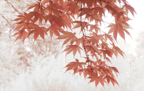 fanttasia:  japanese maple - DSIR0173-1000 by Bahman Farzad on Flickr.