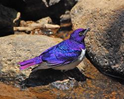 animals birds Starling Amethyst Starling violet-backed starling