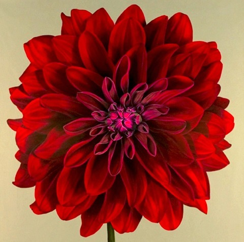 Jane Willis Taylor Red Dahlia 2004