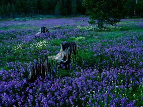 Penstemons, Tahoe National ForestPhoto: Raymond Gehman A field of penstemons surround burnt-out treet trunks in Tahoe National Forest, Nevada.