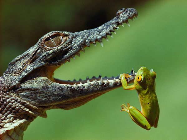 Frog and Crocodile, South AfricaPhoto: Jonathan Blair A year-old Nile crocodile attempts to snap up a frog in the St. Lucia Estuary. Part of the iSimangaliso Wetland Park, which UNESCO named a World Heritage site in 1999, the protected area is Africa's largest estuarine system.