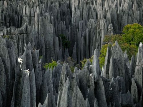 nationalgeographicdaily:  Lemurs, MadagascarPhoto: Stephen Alvarez Decken's sifakas appear right at home in their karst home in western Madagascar. These lemurs live among the unusual pinnacles of the Tsingy de Bemaraha, which started to form 1.8 million years ago as groundwater dissolved and shaped the porous limestone.  Magnificent. I wanna ride a helicopter and drop the person I hate in this, uhm, magnificent place.