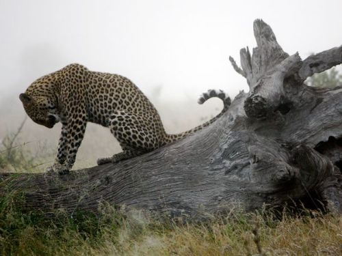 nationalgeographicdaily:  Leopard, South AfricaPhoto: Madison Hall A dew-bathed juvenile leopard takes a peaceful moment atop a fallen tree on a wintery South African morning. Compared with other African game, leopards are famously shy and rarely seen, partially because of their largely nocturnal hunting habits. Leopards number among many other species of top predators whose population numbers are falling due to human impacts, making this a special sighting of a rare animal that is both powerful and extraordinarily gorgeous.
