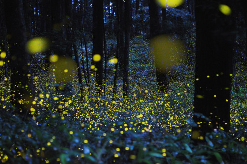 Long Exposure Photographs of Gold Fireflies in Japan