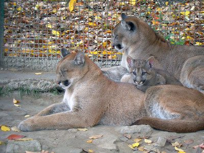 tigersandcompany:  Puma family (by V4len)