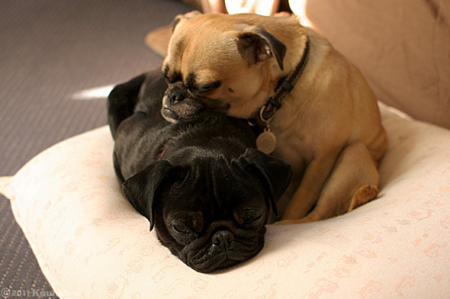 kauntore:  あごやすめ on Flickr. pugs with their chins down on other pugs