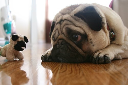 "boodapug:  picturesofpugs:  ""Y u no real?""  Oooh, first pug with a stuffed pug of the New Year!"