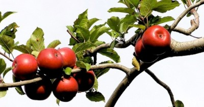 utnereader:  What do you get if you cross an apple tree with a littleleaf linden? The  Guerrilla Grafters—a renegade urban gardening group in San  Francisco—hope the result is a metropolitan food forest. The volunteer  activists splice branches from fruit trees onto the non–fruit bearing  trees that line their city streets in an effort to grow cherries, Asian  pears, and other fresh produce for local residents, free of charge. Keep reading …