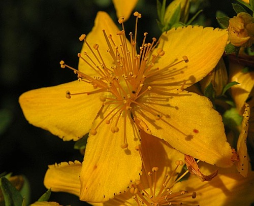 According to various pharmacological studies, St. John's Wort(hypericum perforatum) is useful in treating patients with mild depression. Problem is, the exact mechanism of how it works is not fully understood. The complex flavonoids hyperforin and hypericin are difficult to reproduce industrially, and the plant seems to have none of the common side effects of regular SSRI and SNRI. Actions: vasodilator, mild antiseptic, cholagogue. As with all nutritive supplements, note possible interactions. It can be bought in most European countries as tea or extract.
