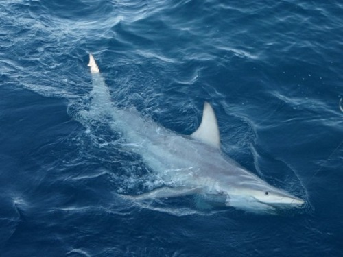 ECO NEWS: New Hybrid Shark Species Suggests Adaptation To Climate Change