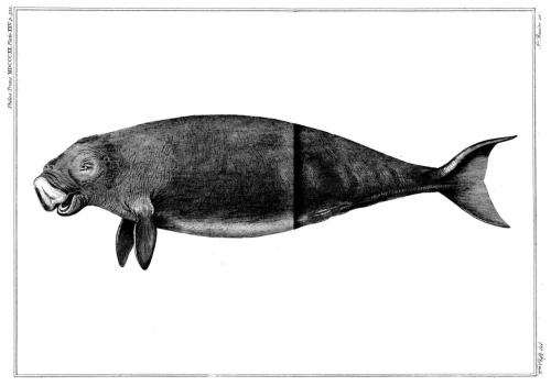 The Dugong (Dugong dugon)  From: 'Particulars Respecting the Anatomy of the Dugong, Intended as a Supplement to Sir T. S. Raffles' Account of That Animal (January 1, 1820)'