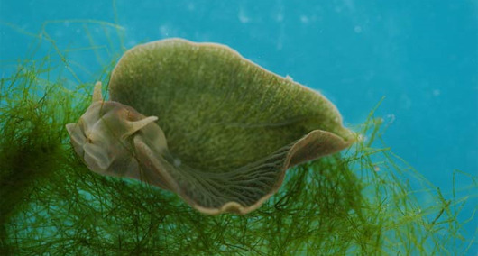 mothernaturenetwork:  Bizarre sea slug is half plant, half animalScientists discover chlorophyll-producing sea slug that can carry out photosynthesis using genes swiped from plants.