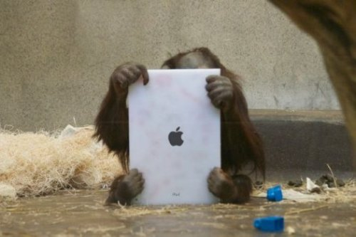 brooklynmutt:  FaceTime for Apes: Orangutans Use iPads to Video Chat With Friends In Other Zoos - Popular Science