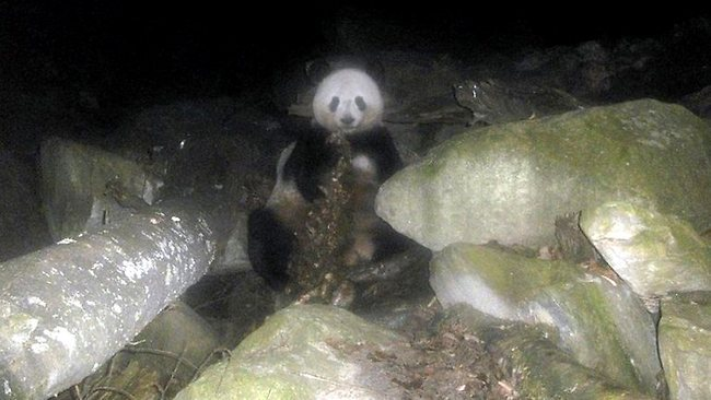 "'An Evolutionary Throwback': Panda Filmed Eating Meat A wild panda was caught on a remote camera eating an uncharacteristic meal recently: meat. A wildebeest carcass (of natural causes) was used as a feeding lure to see what sort of animals in the Wanglong Nature Reserve might be interested in a wilde-snack, and the remote camera they set up captured this adult panda. It's not unusual, considering that pandas are members of the bear family. This means that they have the ancestral digestive system of an animal that eats meat. This evolutionary ""throwback"" actually isn't that surprising. We've known for a long time that the giant panda is one of the most inefficient eaters in the animal kingdom. Because its digestive system has such a hard time breaking down its meal of choice - bamboo - it loses most of its food as waste and must spend up to 16 hours a day eating just to get enough nutrients to survive. (via NPR)"