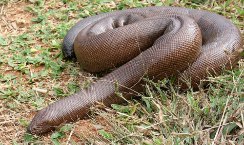 Indian Sand Boa (Eryx johnii) Also known as the Brown Sand Boa, the Indian Sand Boa is a species of burrowing Boa (Sand Boa, subfamily Ericinae) found in India, Pakistan, and Iran. This is the largest species of Old World Sand Boa. They reach an average length of about 2 ft and a maximum length of 3 ft. Coloration ranges amongst shades of brown from medium brown to reddish or yellowish brown. E. johnni has smooth scales, small eyes, a wedge shaped snout with a large shield like scale for digging into loose soil, and a blunt tail (which may confuse predators as to which end of the animal is the head).  (photo by Ash-lin) This species is oviviviparous (retain the eggs and then give birth as the young hatch from the egg membrane), as are most of the Boas. They're found in arid and semi-arid habitats with loose sandy soil. They're are known to prey on small mammals and snakes, which they subdue through constriction. This species is being depleted at an alarming rate in the wild from over collecting for the pet industry. Its conservation status needs further research. (text: paxon) (top photo: individual in Bannerghatta Rehab Center, Bangalore, India, by Grande Illusion)