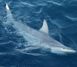 discoverynews:  First Hybrid Shark Found The first-ever observed hybrid may be a sign the predators are adapting to climate change.The mating of the local Australian black-tip shark with its global   counterpart, the common black-tip, was an unprecedented discovery with   implications for the entire shark world. read more
