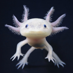 victoriousvocabulary:  AXOLOTL [noun] Ambystoma mexicanum; a neotenic salamander, closely related to the Tiger Salamander. Larvae of this species fail to undergo metamorphosis, so the adults remain aquatic and gilled. It is also called ajolote (which is also a common name for different types of salamander). The species originates from numerous lakes, such as Lake Xochimilco underlying Mexico City. Axolotls are used extensively in scientific research due to their ability to regenerate limbs.