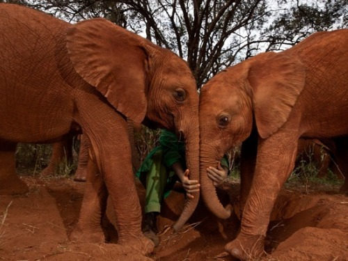 "vegansaurus:  Orphan elephants being socialized in Kenya, by Michael Nichols. According to National Geographic, ""What a scared orphan elephant needs more than anything is other elephants. The process of becoming socialized begins as soon as the worst injuries heal."" My heart! So sad! So sweet! Read the whole article (from the September 2011 issue of National Geographic) and find yourself tearfully resolving to give money to an elephant-related charity in 2012."
