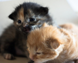 2 week old kittens by Kira Bajira on Flickr.