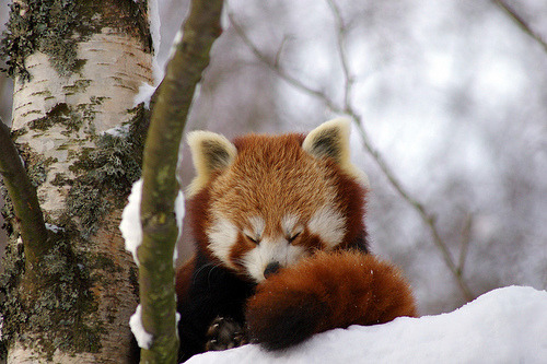 I would fucking love a red panda.